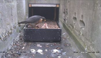 Wild Marlow welcomes new Peregrine Falcon chicks at All Saints' Church