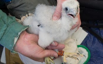 Marlow's Peregrine Falcon Chicks are Ringed